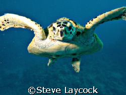 Hawksbill turtle follows the camera.  by Steve Laycock 